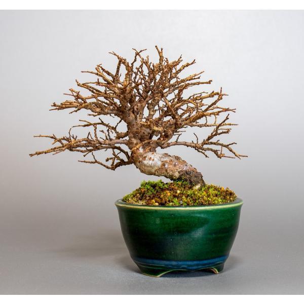 盆栽 ニレケヤキ盆栽(楡欅 小品盆栽)3881|e-bonsai|02