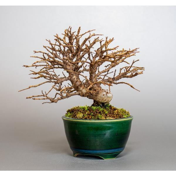 盆栽 ニレケヤキ盆栽(楡欅 小品盆栽)3881|e-bonsai|03