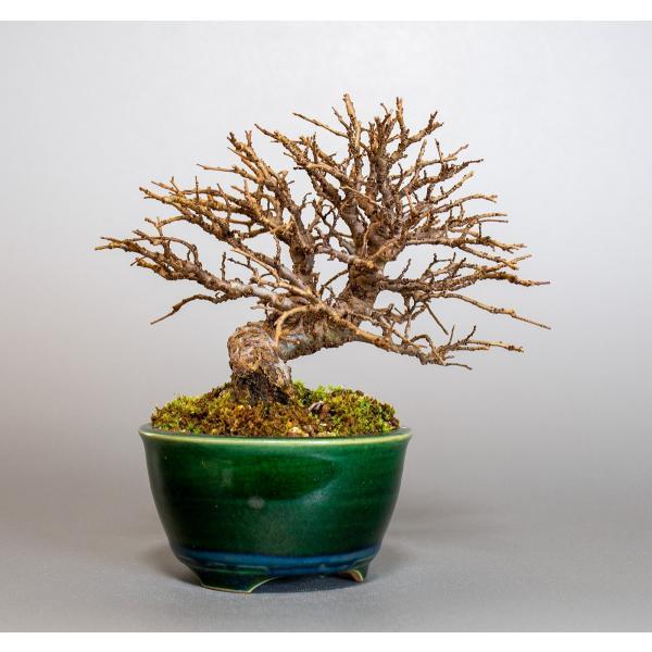 盆栽 ニレケヤキ盆栽(楡欅 小品盆栽)3881|e-bonsai|04