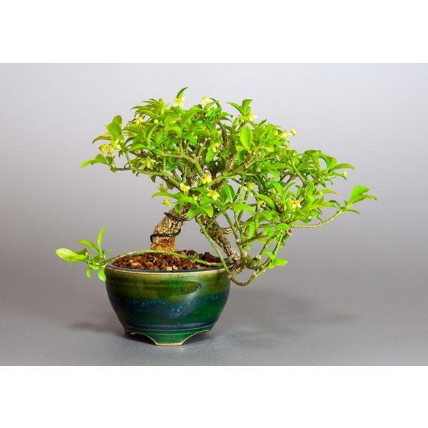ミニ盆栽 コマユミ盆栽 小真弓(こまゆみ・ミニ盆栽 小真弓)小さな盆栽 3886|e-bonsai