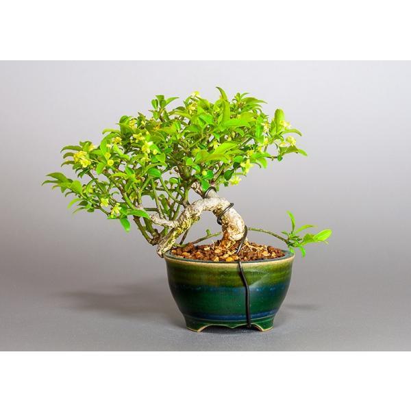 ミニ盆栽 コマユミ盆栽 小真弓(こまゆみ・ミニ盆栽 小真弓)小さな盆栽 3886|e-bonsai|02