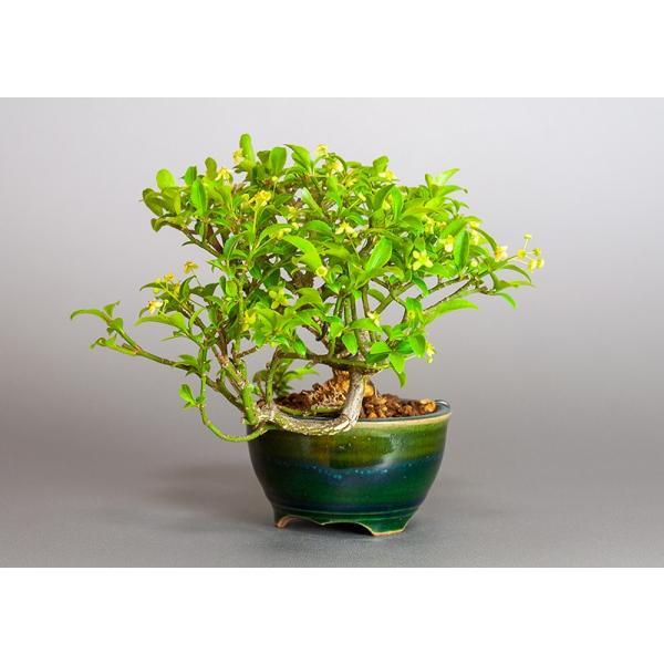 ミニ盆栽 コマユミ盆栽 小真弓(こまゆみ・ミニ盆栽 小真弓)小さな盆栽 3886|e-bonsai|03