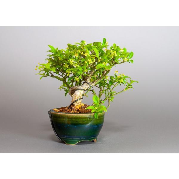 ミニ盆栽 コマユミ盆栽 小真弓(こまゆみ・ミニ盆栽 小真弓)小さな盆栽 3886|e-bonsai|04