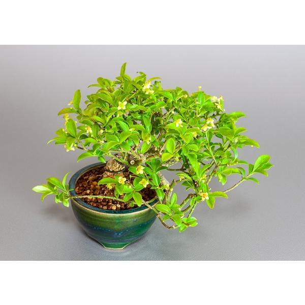 ミニ盆栽 コマユミ盆栽 小真弓(こまゆみ・ミニ盆栽 小真弓)小さな盆栽 3886|e-bonsai|05