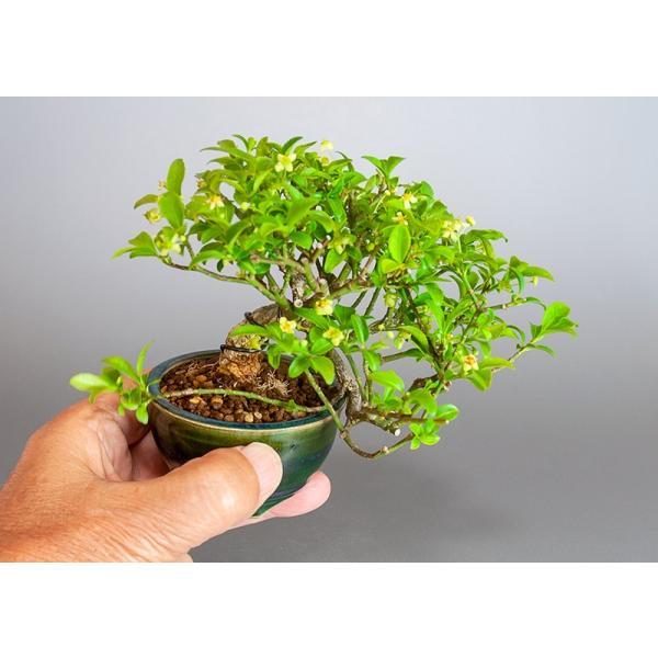 ミニ盆栽 コマユミ盆栽 小真弓(こまゆみ・ミニ盆栽 小真弓)小さな盆栽 3886|e-bonsai|06