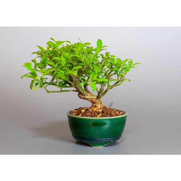 ミニ盆栽 コマユミ盆栽 小真弓(こまゆみ・ミニ盆栽 小真弓)小さな盆栽 3887|e-bonsai
