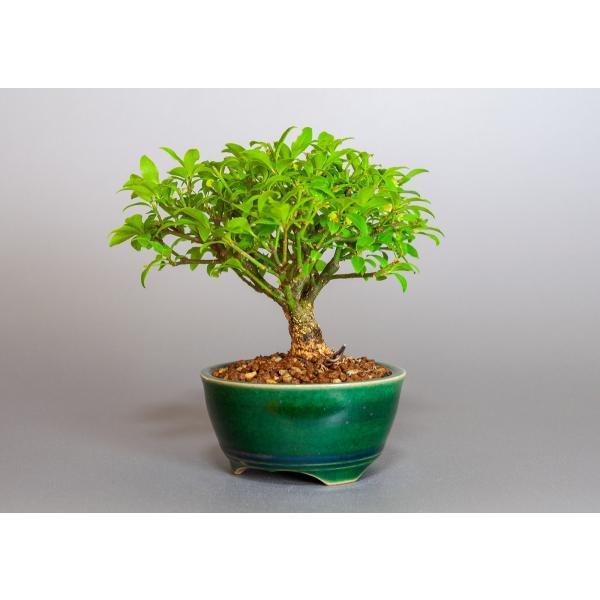 ミニ盆栽 コマユミ盆栽 小真弓(こまゆみ・ミニ盆栽 小真弓)小さな盆栽 3887|e-bonsai|03
