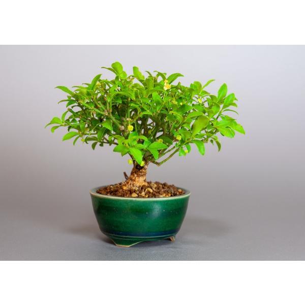 ミニ盆栽 コマユミ盆栽 小真弓(こまゆみ・ミニ盆栽 小真弓)小さな盆栽 3887|e-bonsai|04