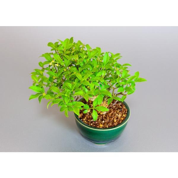 ミニ盆栽 コマユミ盆栽 小真弓(こまゆみ・ミニ盆栽 小真弓)小さな盆栽 3887|e-bonsai|05