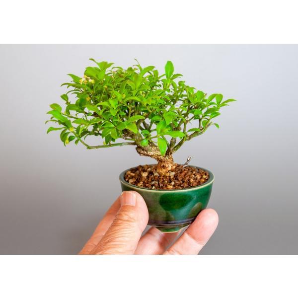 ミニ盆栽 コマユミ盆栽 小真弓(こまゆみ・ミニ盆栽 小真弓)小さな盆栽 3887|e-bonsai|06