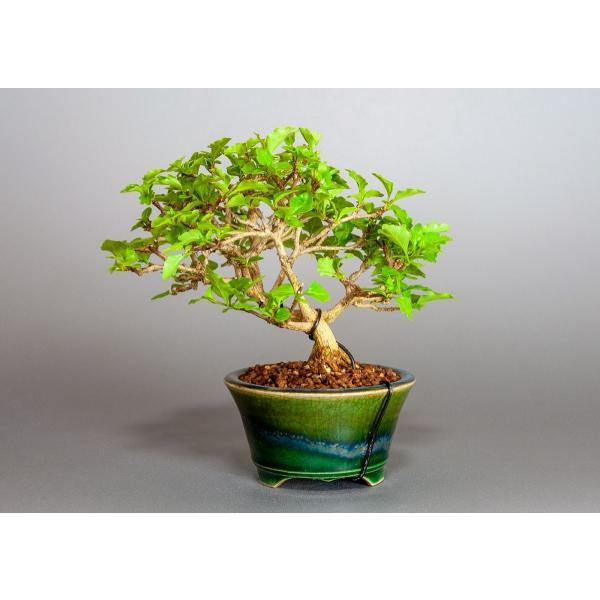 盆栽 ニオイカエデ盆栽 小品盆栽 匂い楓(においかえで・盆栽 匂い楓)3891|e-bonsai|02