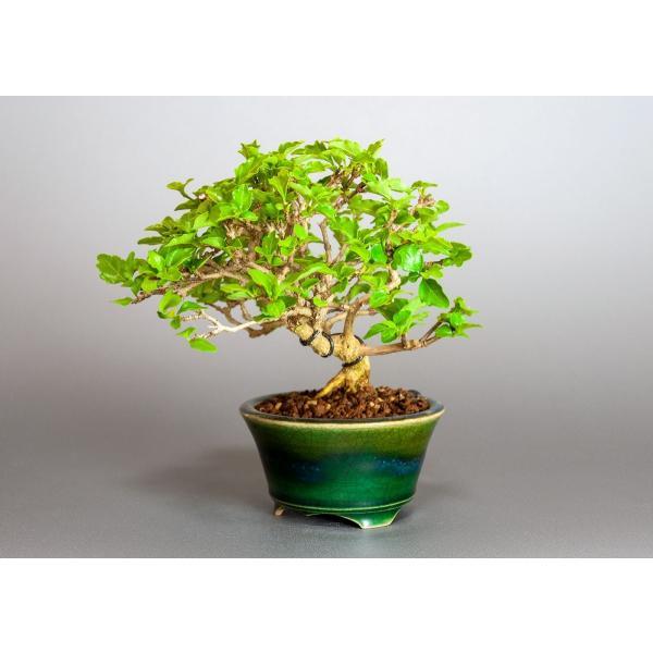 盆栽 ニオイカエデ盆栽 小品盆栽 匂い楓(においかえで・盆栽 匂い楓)3891|e-bonsai|03