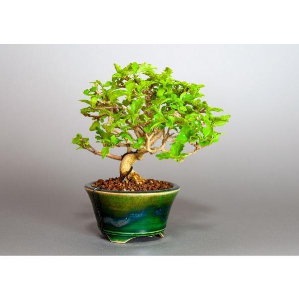 盆栽 ニオイカエデ盆栽 小品盆栽 匂い楓(においかえで・盆栽 匂い楓)3891|e-bonsai|04