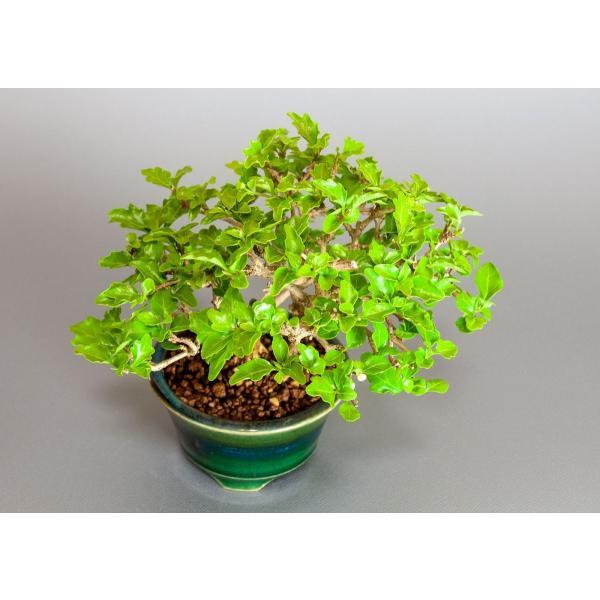 盆栽 ニオイカエデ盆栽 小品盆栽 匂い楓(においかえで・盆栽 匂い楓)3891|e-bonsai|05