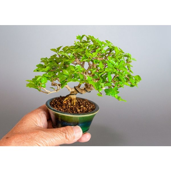 盆栽 ニオイカエデ盆栽 小品盆栽 匂い楓(においかえで・盆栽 匂い楓)3891|e-bonsai|06