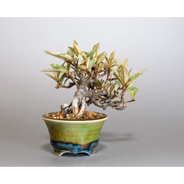 豆盆栽 カングミ 寒茱萸 盆栽(かんぐみ・小葉性 寒茱萸 豆盆栽)小さな盆栽 3896|e-bonsai|02