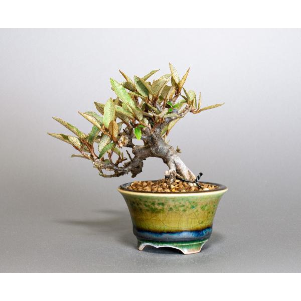 豆盆栽 カングミ 寒茱萸 盆栽(かんぐみ・小葉性 寒茱萸 豆盆栽)小さな盆栽 3896|e-bonsai|03