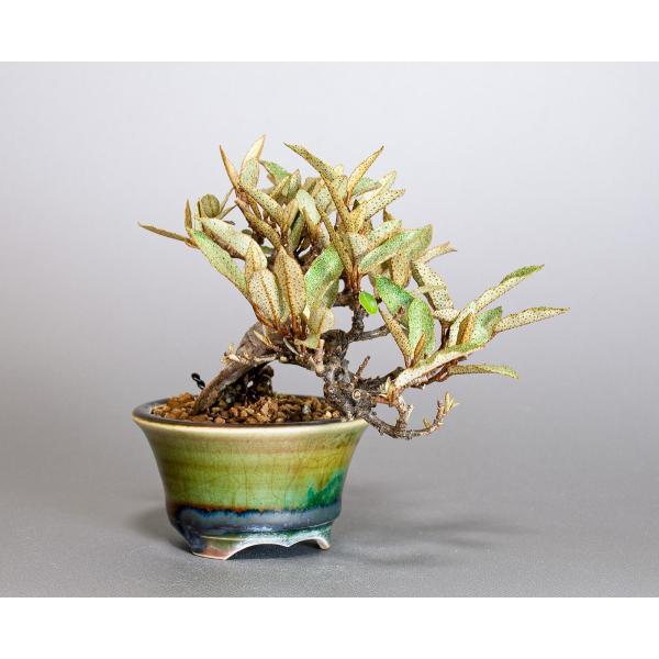 豆盆栽 カングミ 寒茱萸 盆栽(かんぐみ・小葉性 寒茱萸 豆盆栽)小さな盆栽 3896|e-bonsai|04