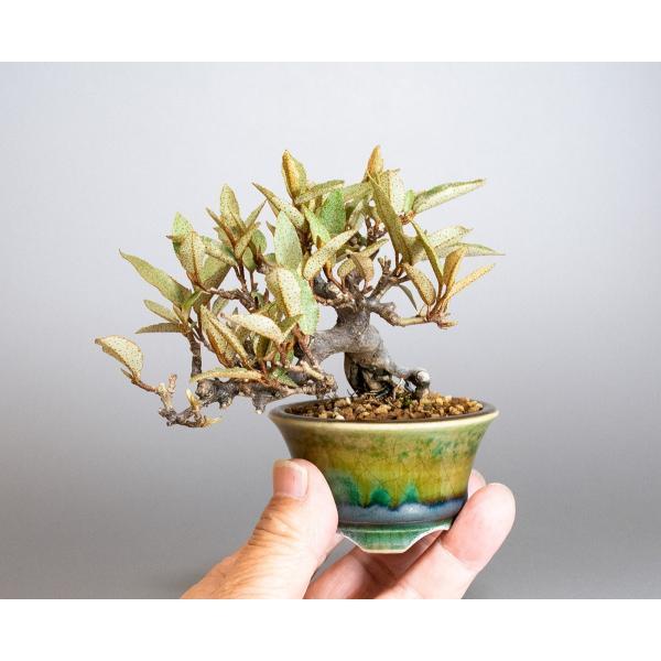 豆盆栽 カングミ 寒茱萸 盆栽(かんぐみ・小葉性 寒茱萸 豆盆栽)小さな盆栽 3896|e-bonsai|05