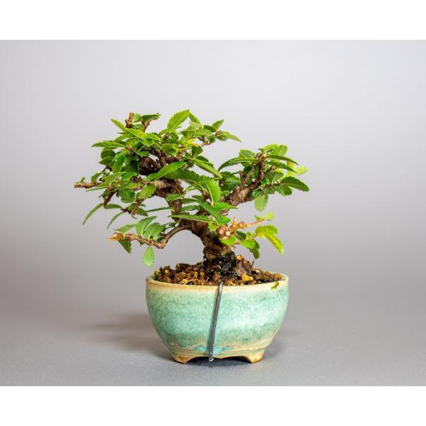 ミニ盆栽 ニレケヤキ盆栽 楡欅(にれけやき・ミニ盆栽 楡欅)小さな盆栽 3908|e-bonsai|02