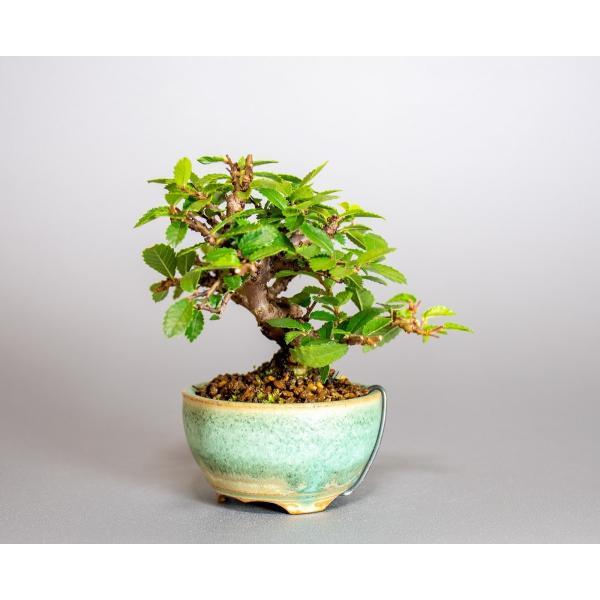 ミニ盆栽 ニレケヤキ盆栽 楡欅(にれけやき・ミニ盆栽 楡欅)小さな盆栽 3908|e-bonsai|03