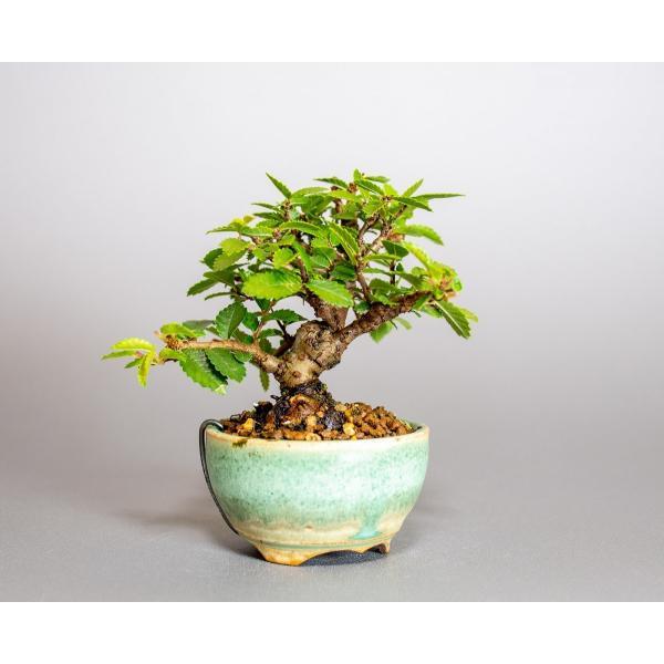 ミニ盆栽 ニレケヤキ盆栽 楡欅(にれけやき・ミニ盆栽 楡欅)小さな盆栽 3908|e-bonsai|04