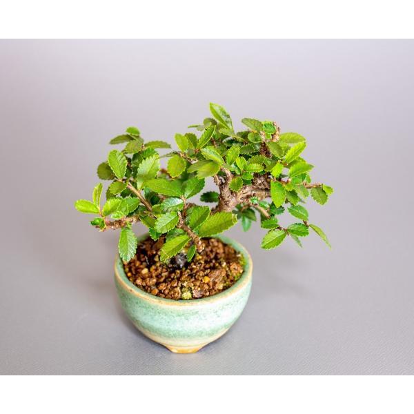 ミニ盆栽 ニレケヤキ盆栽 楡欅(にれけやき・ミニ盆栽 楡欅)小さな盆栽 3908|e-bonsai|05