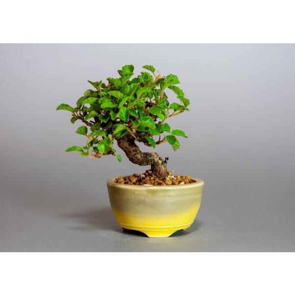 ミニ盆栽 ガマズミ 金華山莢迷盆栽(がまずみ・金華山ガマズミミニ盆栽)小さな盆栽 3911|e-bonsai