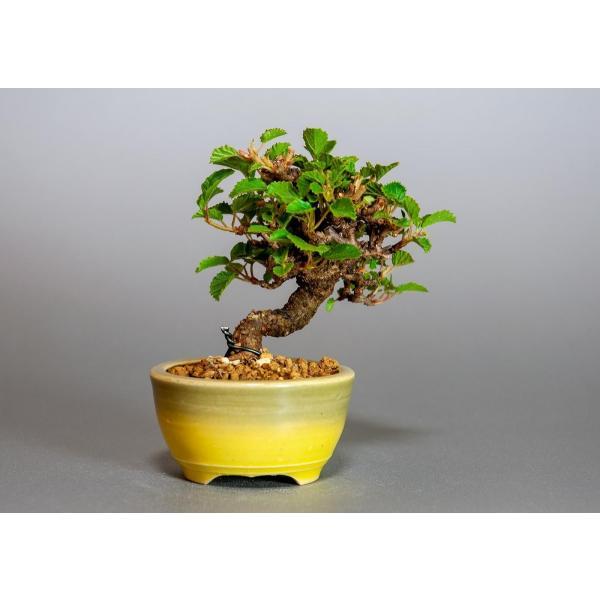 ミニ盆栽 ガマズミ 金華山莢迷盆栽(がまずみ・金華山ガマズミミニ盆栽)小さな盆栽 3911|e-bonsai|02