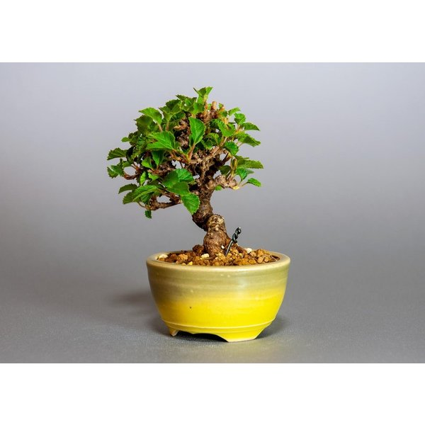 ミニ盆栽 ガマズミ 金華山莢迷盆栽(がまずみ・金華山ガマズミミニ盆栽)小さな盆栽 3911|e-bonsai|03
