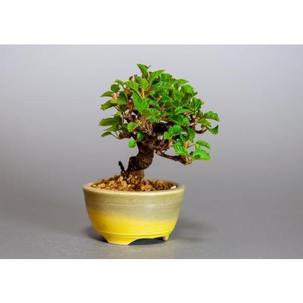ミニ盆栽 ガマズミ 金華山莢迷盆栽(がまずみ・金華山ガマズミミニ盆栽)小さな盆栽 3911|e-bonsai|04