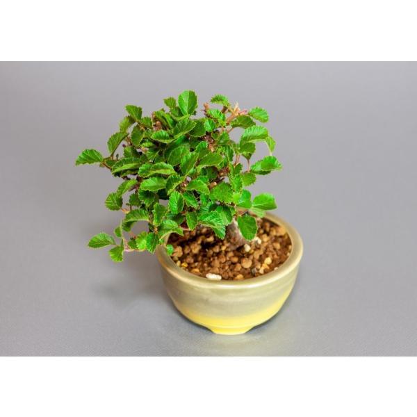 ミニ盆栽 ガマズミ 金華山莢迷盆栽(がまずみ・金華山ガマズミミニ盆栽)小さな盆栽 3911|e-bonsai|05