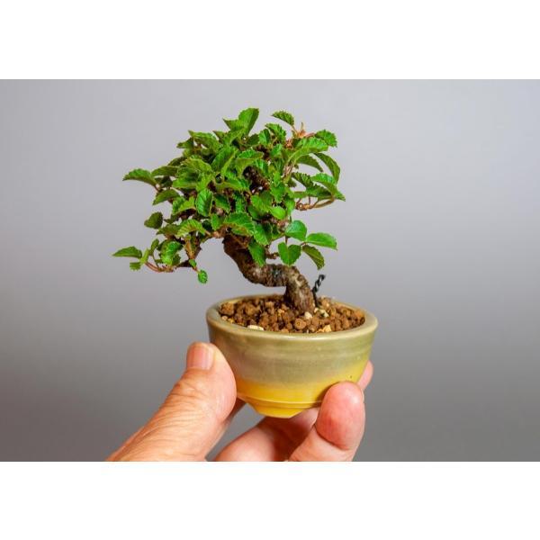 ミニ盆栽 ガマズミ 金華山莢迷盆栽(がまずみ・金華山ガマズミミニ盆栽)小さな盆栽 3911|e-bonsai|06
