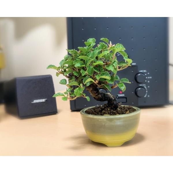 ミニ盆栽 ガマズミ 金華山莢迷盆栽(がまずみ・金華山ガマズミミニ盆栽)小さな盆栽 3911|e-bonsai|07