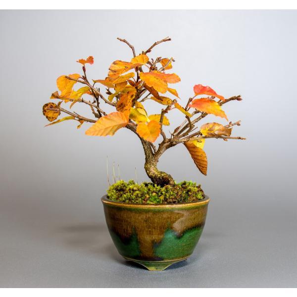 盆栽 イワシデ盆栽(岩四手 盆栽)小品盆栽 3912|e-bonsai