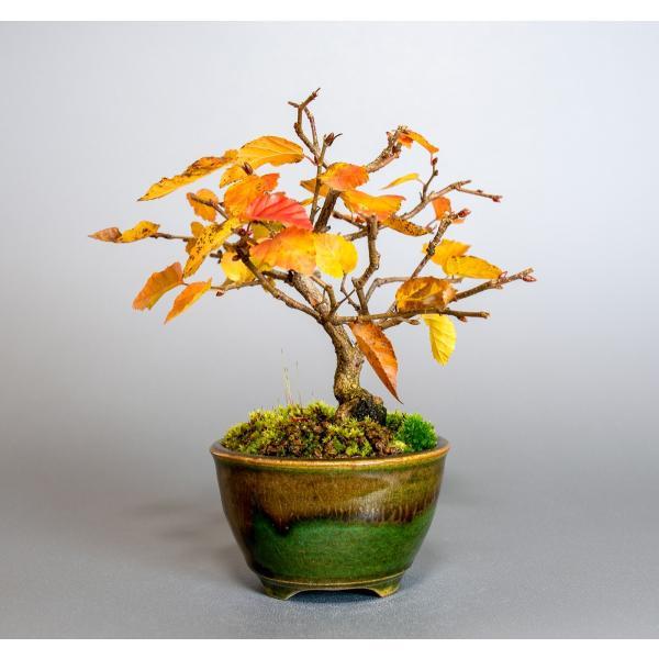 盆栽 イワシデ盆栽(岩四手 盆栽)小品盆栽 3912|e-bonsai|03