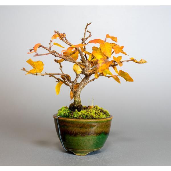 盆栽 イワシデ盆栽(岩四手 盆栽)小品盆栽 3912|e-bonsai|04