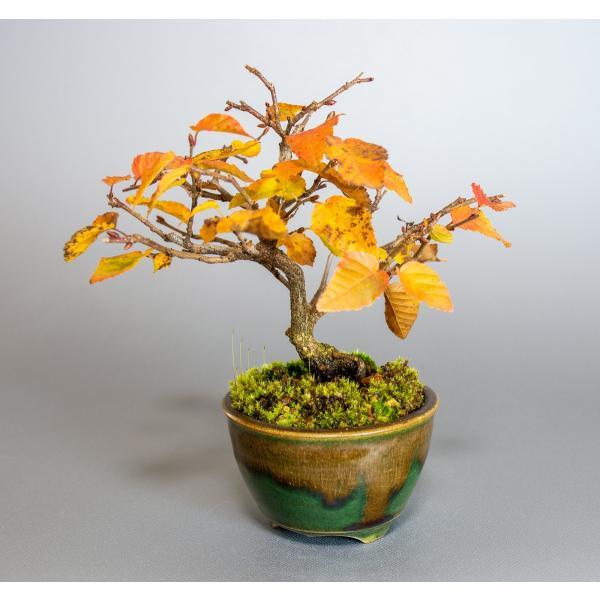 盆栽 イワシデ盆栽(岩四手 盆栽)小品盆栽 3912|e-bonsai|05