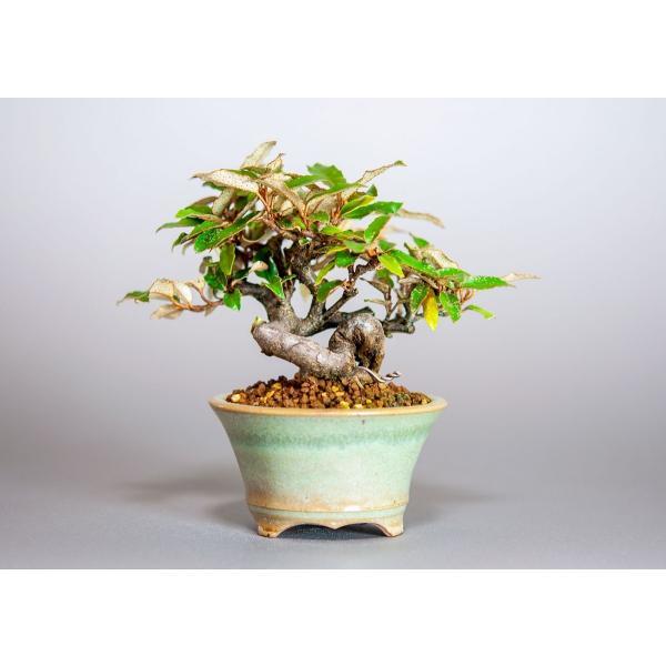 ミニ盆栽 カングミ盆栽 小葉性寒茱萸(かんぐみ・寒茱萸盆栽)小さな盆栽 3916|e-bonsai|02