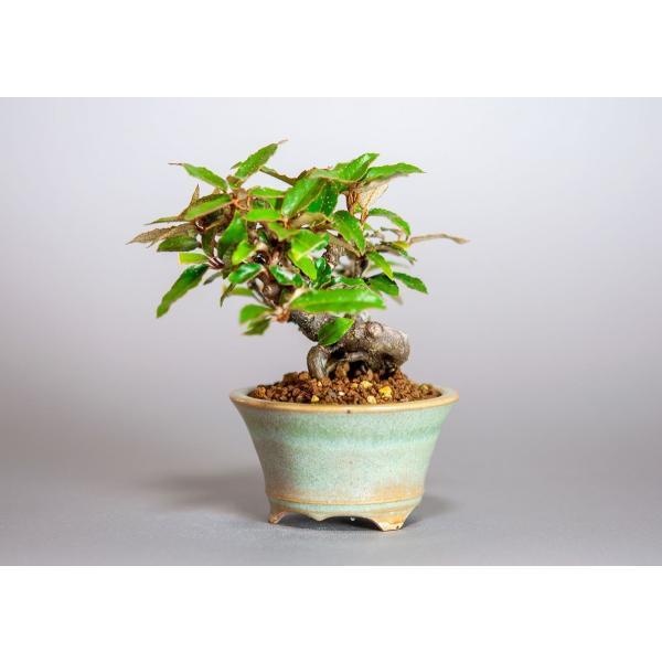 ミニ盆栽 カングミ盆栽 小葉性寒茱萸(かんぐみ・寒茱萸盆栽)小さな盆栽 3916|e-bonsai|03