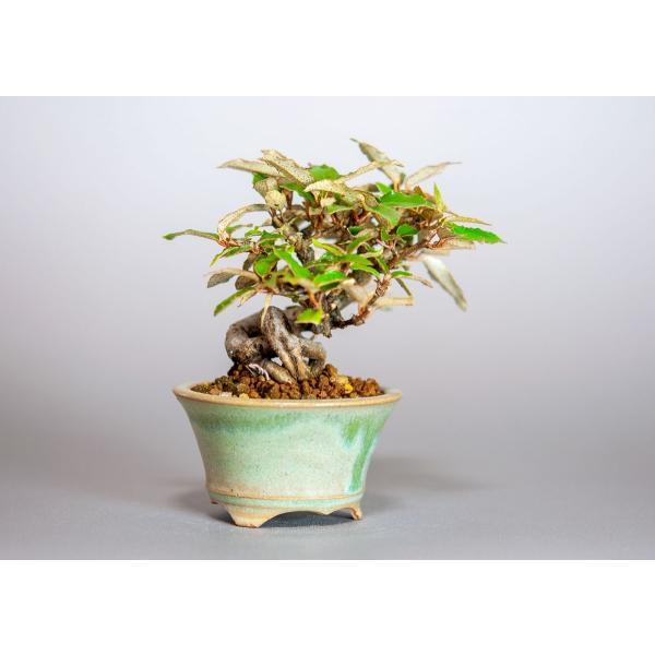 ミニ盆栽 カングミ盆栽 小葉性寒茱萸(かんぐみ・寒茱萸盆栽)小さな盆栽 3916|e-bonsai|04