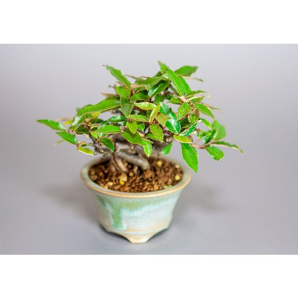 ミニ盆栽 カングミ盆栽 小葉性寒茱萸(かんぐみ・寒茱萸盆栽)小さな盆栽 3916|e-bonsai|05