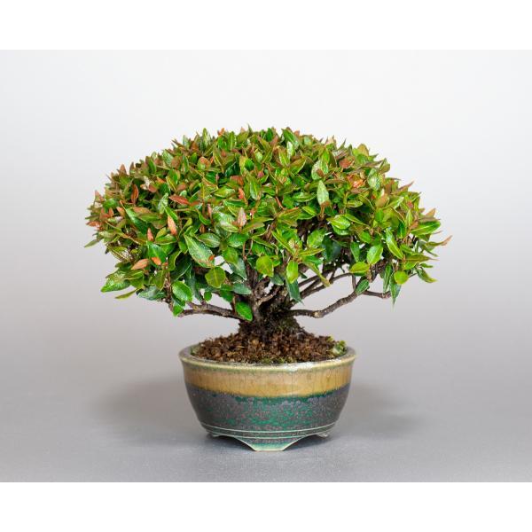 ミニ盆栽 チリメンカズラ盆栽 縮緬葛(ちりめんかずら・盆栽 縮緬葛)小さな盆栽 3932|e-bonsai|02