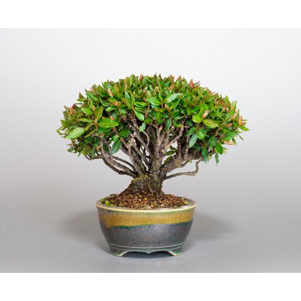 ミニ盆栽 チリメンカズラ盆栽 縮緬葛(ちりめんかずら・盆栽 縮緬葛)小さな盆栽 3932|e-bonsai|03