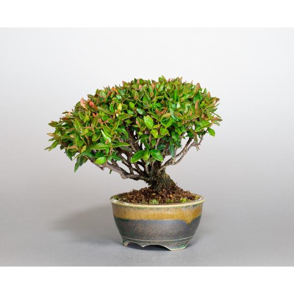 ミニ盆栽 チリメンカズラ盆栽 縮緬葛(ちりめんかずら・盆栽 縮緬葛)小さな盆栽 3932|e-bonsai|04