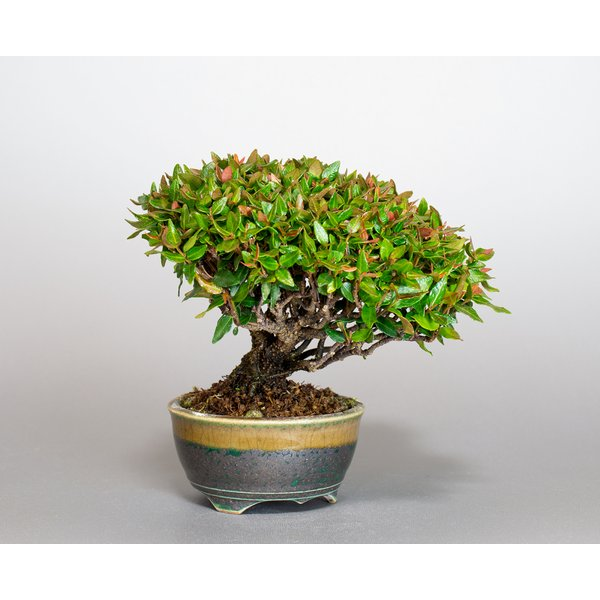 ミニ盆栽 チリメンカズラ盆栽 縮緬葛(ちりめんかずら・盆栽 縮緬葛)小さな盆栽 3932|e-bonsai|05