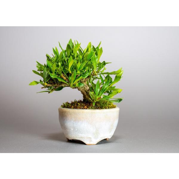 ミニ盆栽 クチナシ盆栽 梔子(くちなし・小盆栽 小葉性のクチナシ喜代誉)小さな盆栽 3933|e-bonsai