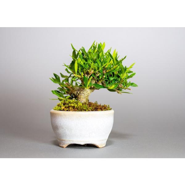 ミニ盆栽 クチナシ盆栽 梔子(くちなし・小盆栽 小葉性のクチナシ喜代誉)小さな盆栽 3933|e-bonsai|02