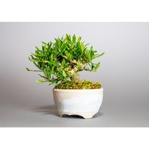 ミニ盆栽 クチナシ盆栽 梔子(くちなし・小盆栽 小葉性のクチナシ喜代誉)小さな盆栽 3933|e-bonsai|03