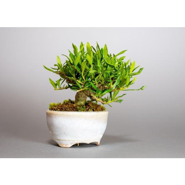 ミニ盆栽 クチナシ盆栽 梔子(くちなし・小盆栽 小葉性のクチナシ喜代誉)小さな盆栽 3933|e-bonsai|04